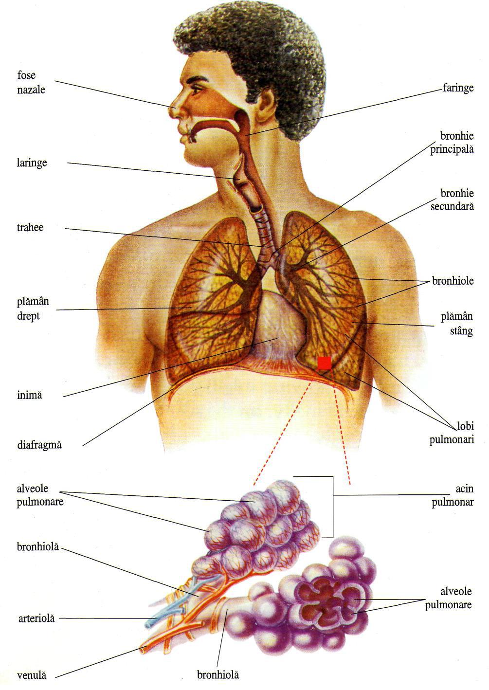 Sistemul respirator – un alt fel de copac al vietii