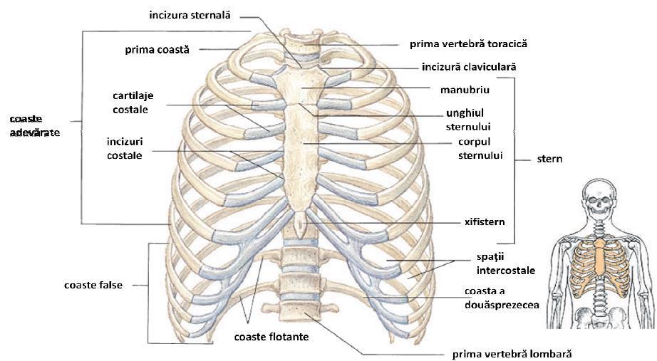 Oasele corpului uman