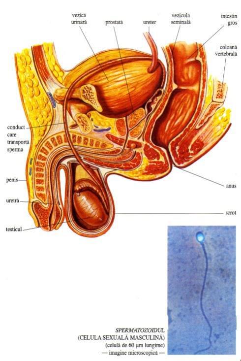 penisul mascul și scrotul)