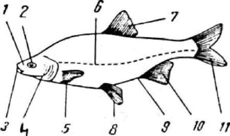 Structura anatomica a peştelui